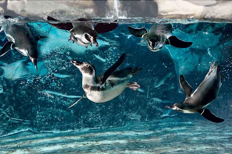 pinguini-acquario-cattolica